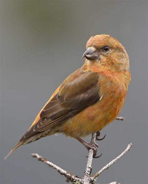 red crossbill audubon field guide