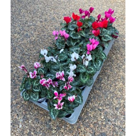 cyclamen cm assortment    good polhill