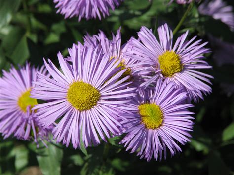 File:Erigeron 'Azure Beauty' 02 Wikimedia Commons
