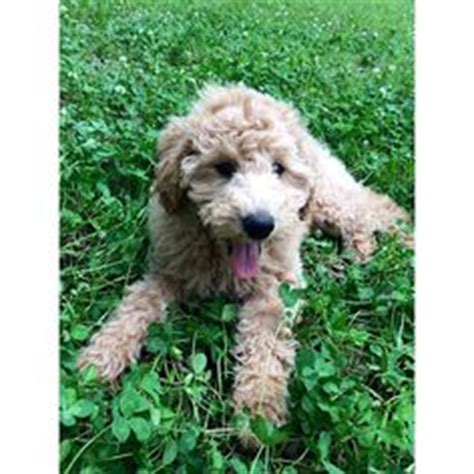 are golden retrievers hypoallergenic poodles friends and sibling on