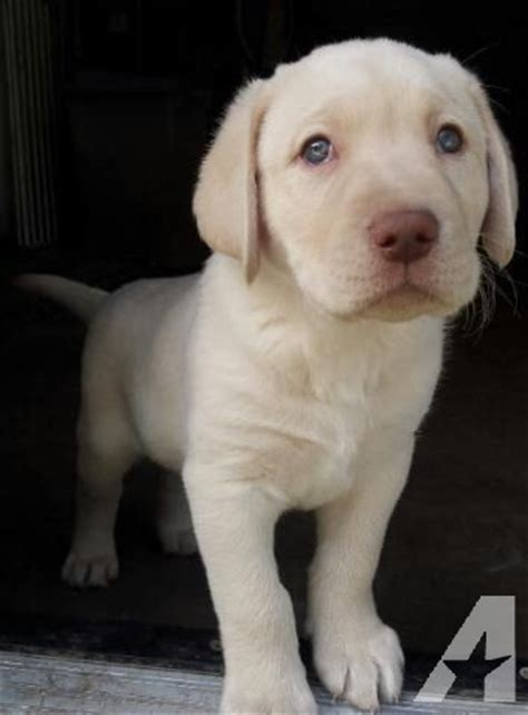 lab puppies for sale houston akc yellow lab puppies for sale in houston classified americanlisted