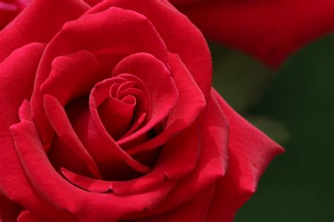 www rose desktop inspiratoin beautiful rose flower wallpaper