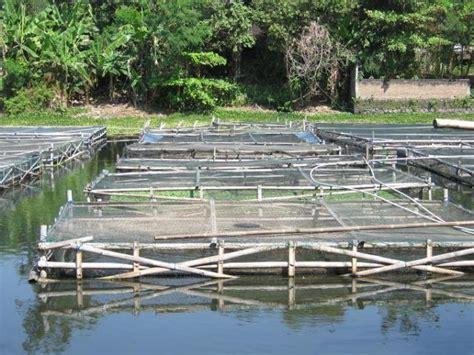 Tempat Jual Bibit Lobster Air Tawar kolam sidat budidaya sidat anguilla bicolor
