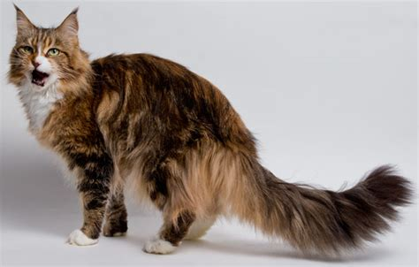 cat price maine coon cat and kitten prices and where to buy them