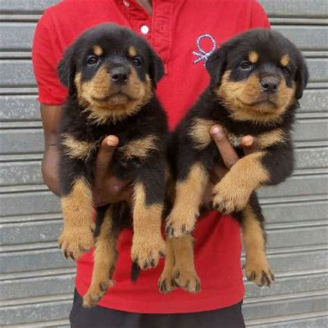 8 week rottweiler puppy 8 weeks german import rottweiler forsale pets nigeria