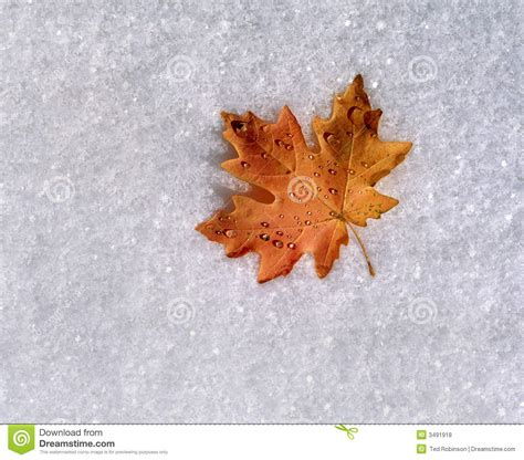 snow on maple leaves cooke maple leaf on fresh snow royalty free stock photos image