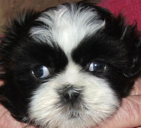 when does a shih tzu puppy become a how do you fix a shih tzu puppy s of eye