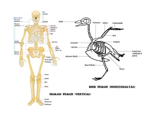 anatomical position diagram human femur diagram