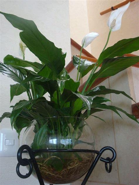plantas en agua interior plantas de interior en jarrones con agua plantas de