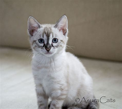 seal lynx point spotted snow bengal kitten by junglelure bengals of seal lynx point bengal cat www pixshark com images