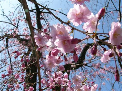 Pohon Cherry By One Home 424 best images about flower cherry blossom on