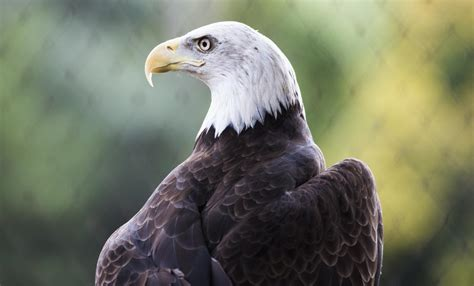 pictures of bald bald eagle the symbol of valor strength and freedom