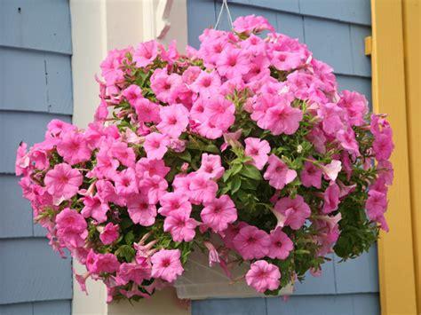 hängende pflanzen h 228 ngende balkonblumen wie petunien pr 228 sentieren sich