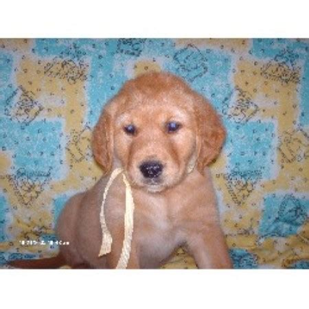 oklahoma golden retriever breeders wire haired fox terrier puppies for sale in breeds picture