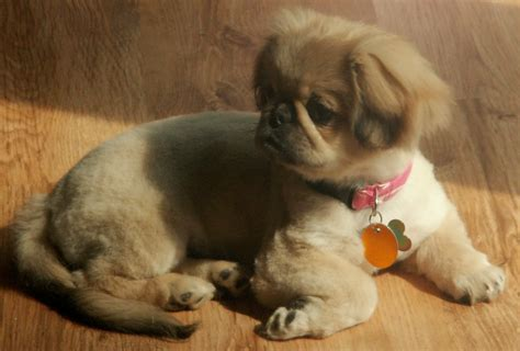pekingese puppies pekingese puppy photo and wallpaper beautiful pekingese puppy pictures