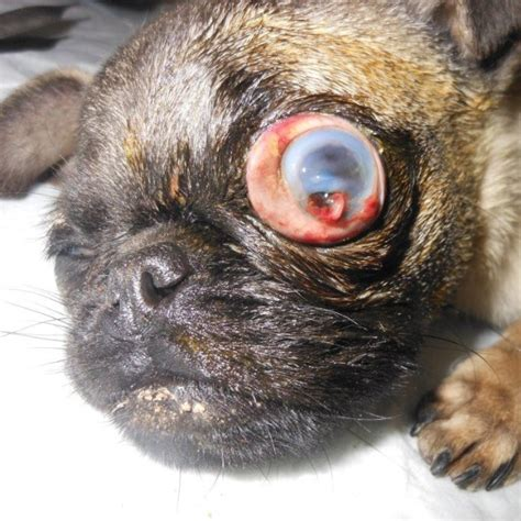 pug eye injury pedigree dogs exposed the brachy week extended quot she ran into a door quot
