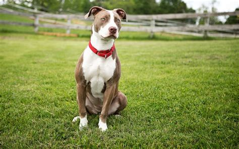 mini pitbull sports and athletic pitbull miniature and large breed