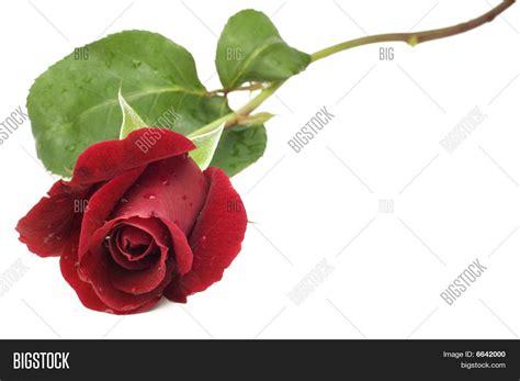 Stem Roses by Stem Image Photo Bigstock