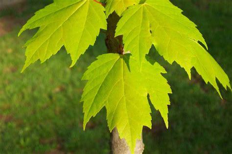 maple tree leaf arrangement identify leaves environmental science bio with lafferty at junior college studyblue