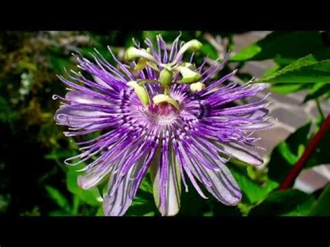 caterina valente passion flower 1caterina valente passion flowers tout l amour