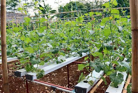 cara membuat hidroponik tanpa greenhouse melon hidroponik nutrient film technique outdoor bebeja com