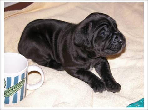 mastiff puppies for sale in michigan breed neapolitan mastiff puppies slideshow