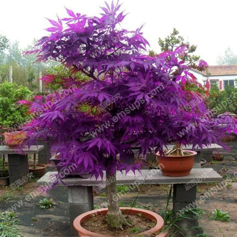 acer palmatum quot purple ghost quot bonsai nut