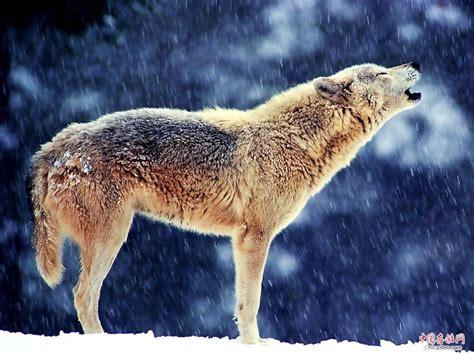 草原狼论坛知道哪里狼最多吗抓过来?青海草原有狼吗