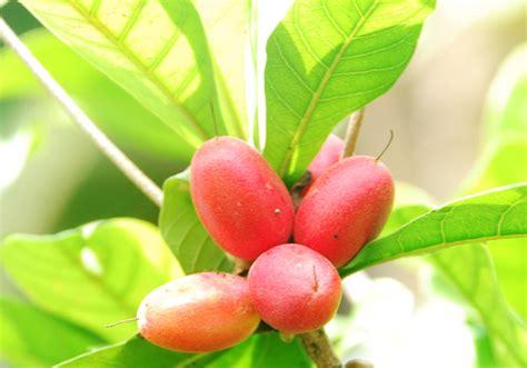 Promo 2 Bibit Miracle Fruits Si Buah Ajaib miracle fruit calon pemanis buatan bebeja