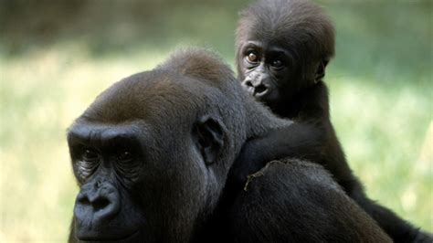 Mother and Baby Gorilla Desktop Background HD 2560x1600 ...
