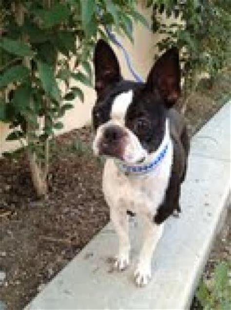 boston terrier puppies for adoption boston terrier puppies dogs for adoption boston terrier puppies for sale swansea