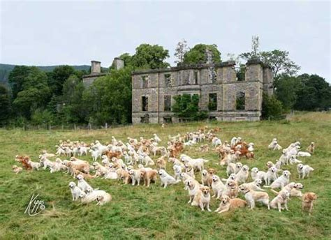 golden retriever club 222 golden retrievers meet up in scotland upi