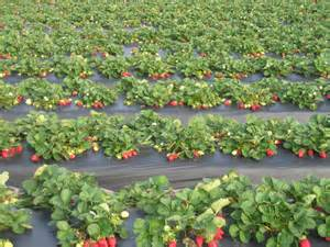 strawberries everyday keeps the cancer away by samantha garvin samantha garvin s ram page