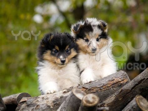 free sheltie puppies 123 best images about sheltie on beautiful dogs and names