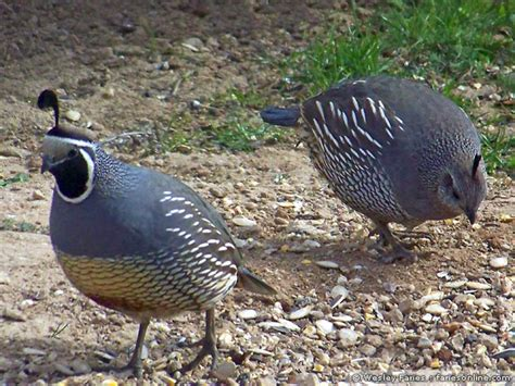 backyard quail wesley s backyard birds california quail