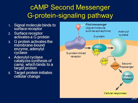g proteins and second messengers cell membrane structure and function ppt