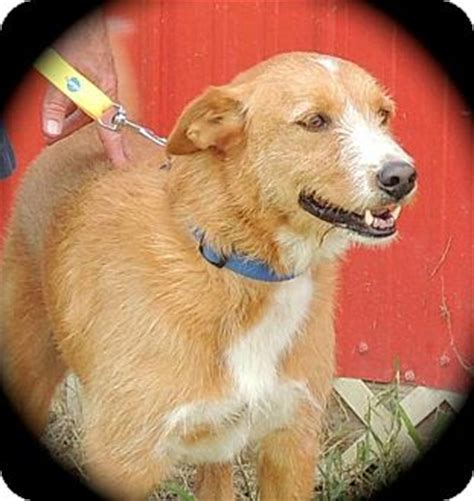 airedale golden retriever mix marley ii adopted joplin mo golden retriever airedale terrier mix