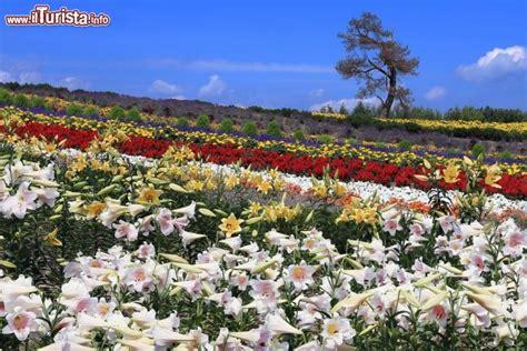 foto di ci fioriti ci fioriti a furano in giappone ricordiamo che a