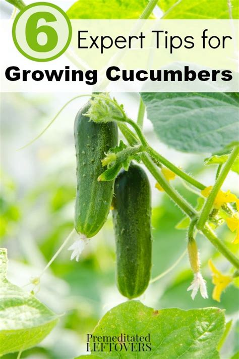 tips to grow hard to propagate plants 6 expert tips for growing cucumbers