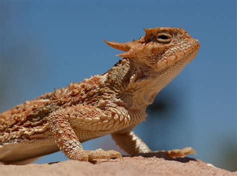 lizards  nevadas valley  fire