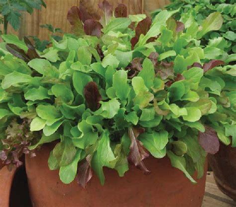 Benih Bibit Biji Selada Merah Lettuce Salad Bowl Lokal benih selada gourmet mixed
