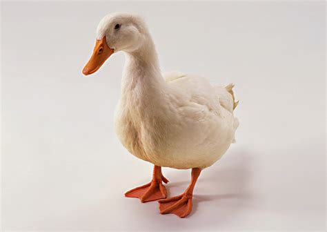 tutorial gambar bebek stock photo gambar itik dan bebek seni rupa