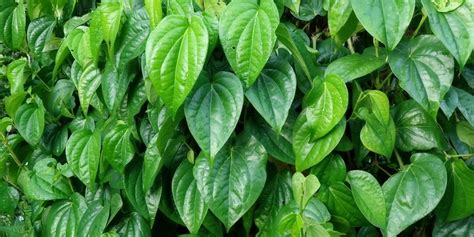 Obat Cina Pemerah Bibir sehat dan nyaman bersama softex daun sirih tweensagara