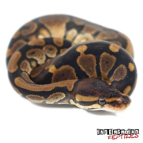 ball python bedding baby ball pythons for sale underground reptiles