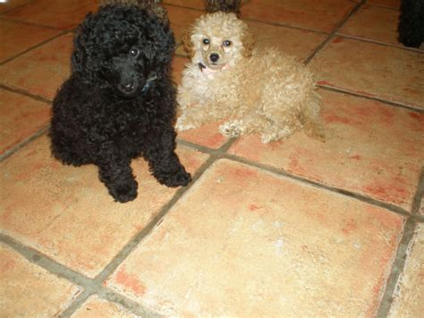 poodle puppies price poodle puppies see advert for price sleaford lincolnshire pets4homes