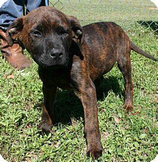 lab mastiff mix puppies adopted puppy weeki wachee fl mastiff labrador retriever mix