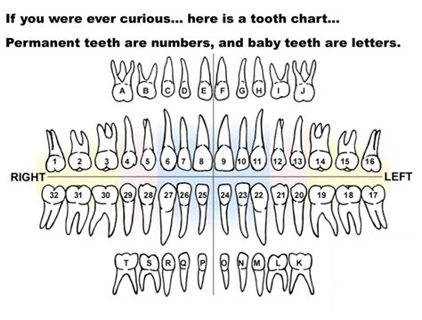 tooth diagram numbers printable diagrams of teeth diagram site