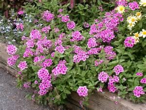 garden verbena umass amherst greenhouse crops and