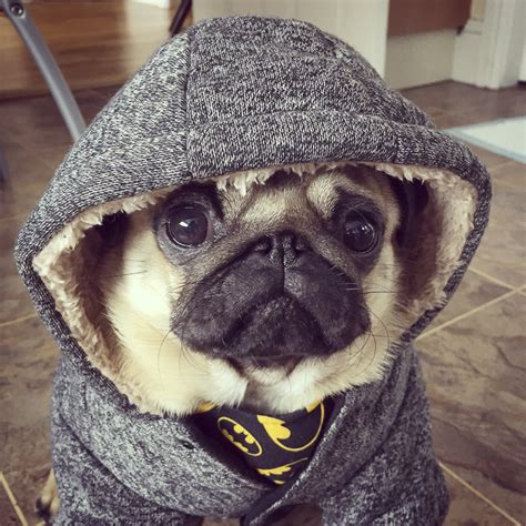 buy pug puppies uk social pug profile more batman ideas