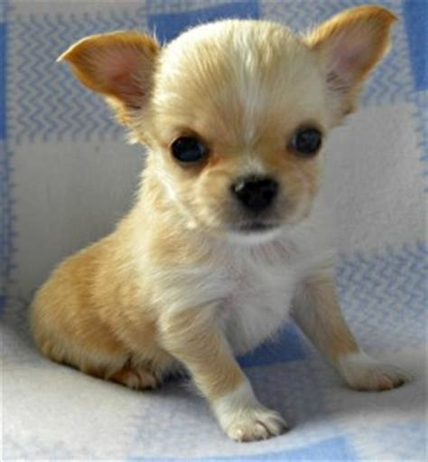 free puppies nj pets newark nj free classified ads